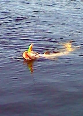 Muskie in the Saint John River
