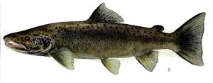 atlantic_salmon