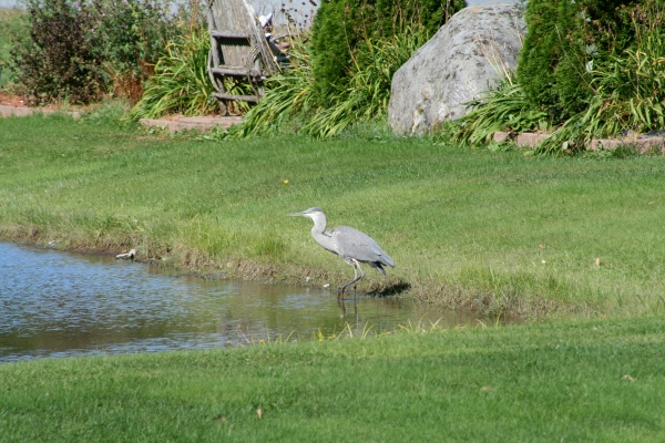 Dad's Pet Bird, The Great Blue Heron
