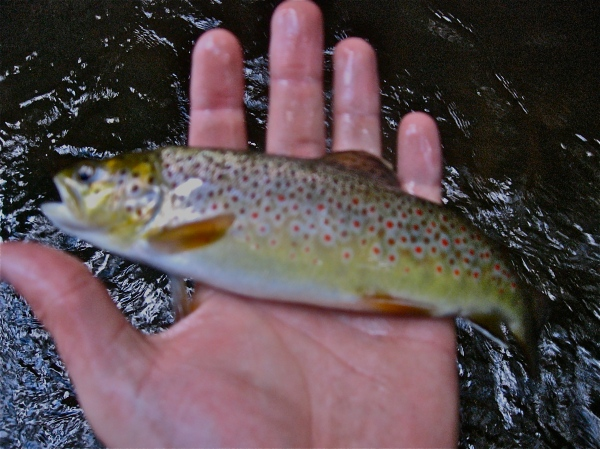 Pleasant River Brown Trout