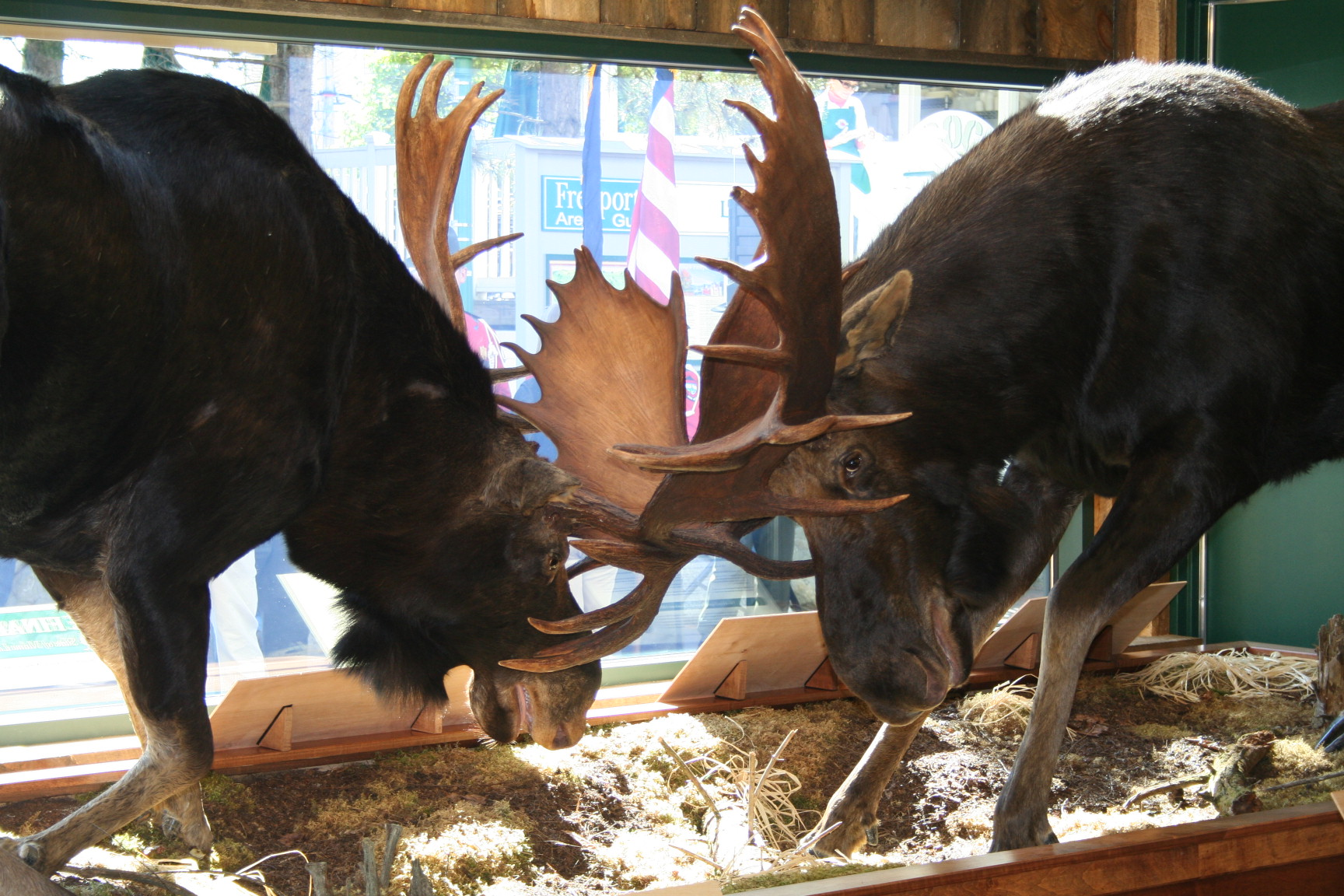Maine Locked Moose: The Final Charge