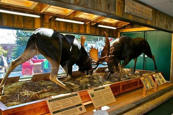 Maine Locked Moose