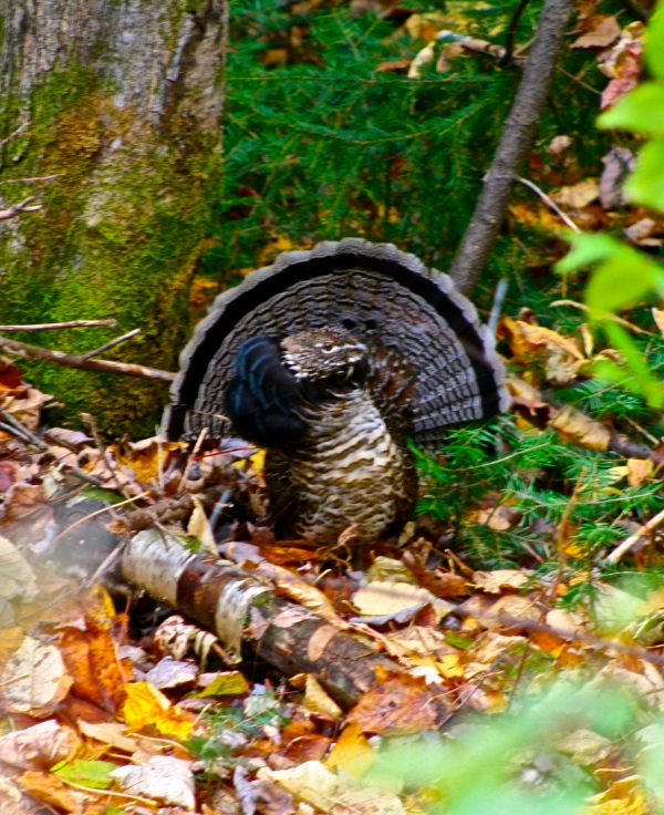 Fanned out Partridge