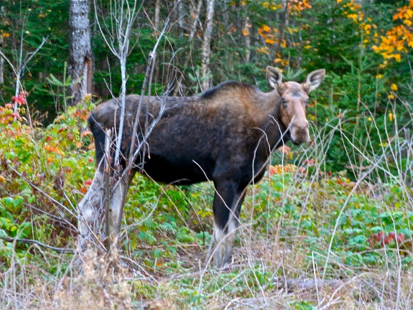 Maine Moose Cow